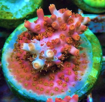 REx Red-Pink Firework Acro,.JPG