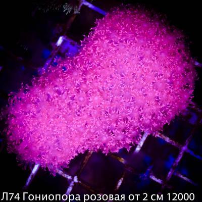 Л74 Гониопора розовая от 2 см 12000.jpg