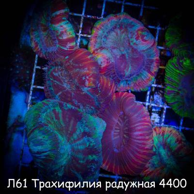Л61 Трахифилия радужная 4400.jpg