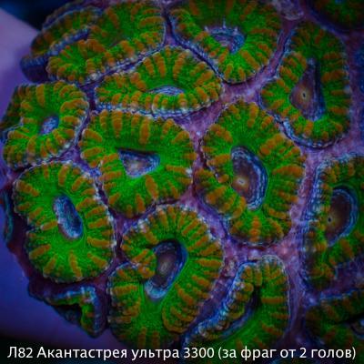 Л82 Акантастрея ультра австралийская Acanthastrea lordhowensis 3300 (за фраг от 2 голов).jpg