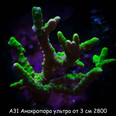 А31 Анакропора ультра от 3 см 2800.jpg