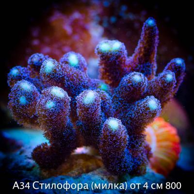 А34 Стилофора (милка) от 4 см 800.jpg