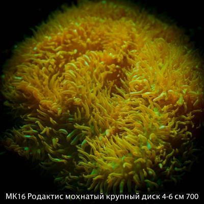 МК16 Родактис зеленый мохнатый крупный диск 4-6 см 700.jpg