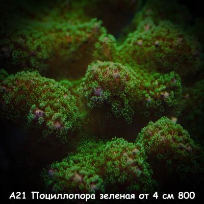 А21 Поциллопора зеленая от 4 см 800.jpg