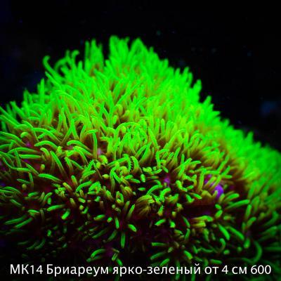 МК14 Бриареум ярко-зеленый от 4 см 600.jpg