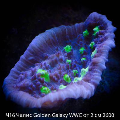 Ч16 Чалис Golden Galaxy WWC от 2 см 2600.jpg