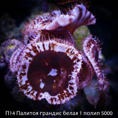 П14 Палитоя грандис белая 1 полип 5000.jpg