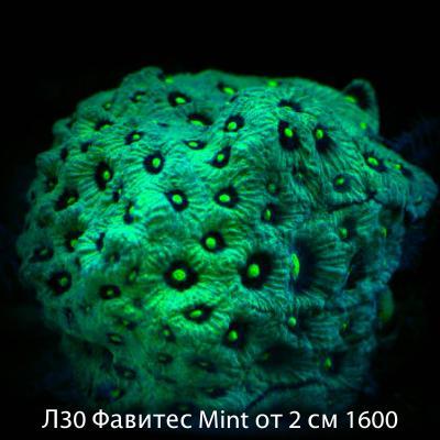 Л30 Фавитес Mint от 2 см 1600.jpg