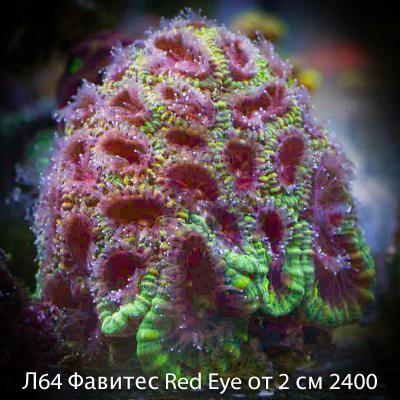 Л64 Фавитес Red Eye от 2 см 2400.jpg