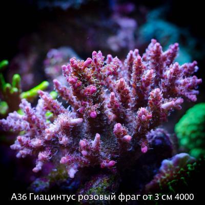 А36 Гиацинтус розовый фраг от 3 см 4000.jpg