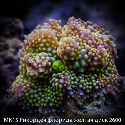 МК15 Рикордея флорида желтая диск 2600.jpg