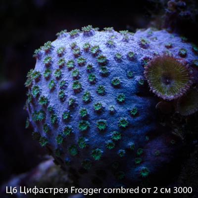 Ц6 Цифастрея Frogger cornbred от 2 см 3000.jpg