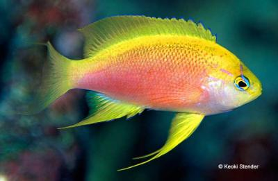 hawaiian-longfin-anthias-pseudanthias-hawaiiensis-female.jpg