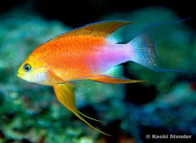 hawaiian-longfin-anthias-pseudanthias-hawaiiensis-male.jpg