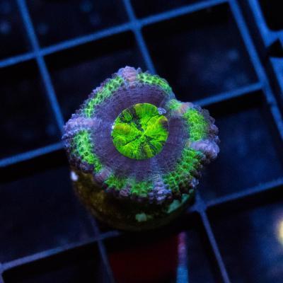 36 Green Acan 1500 - 1000.jpg