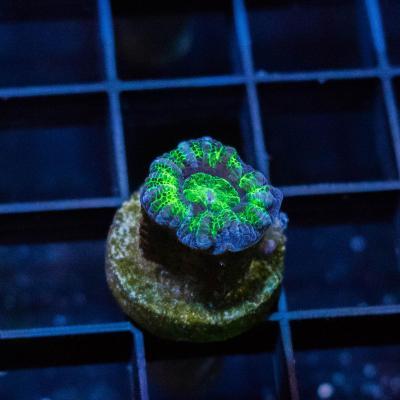 66 Green Acan 1500 - 1200.jpg