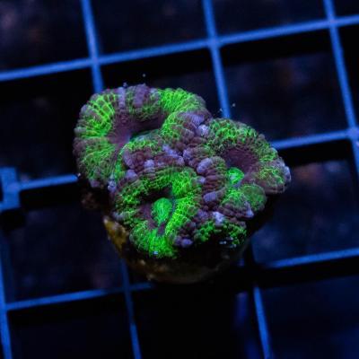 95 Green Acan 2500 - 1500.jpg