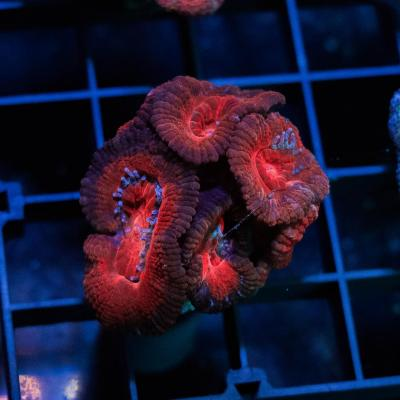 80 Dark Red Acan 3000 - 2000.jpg