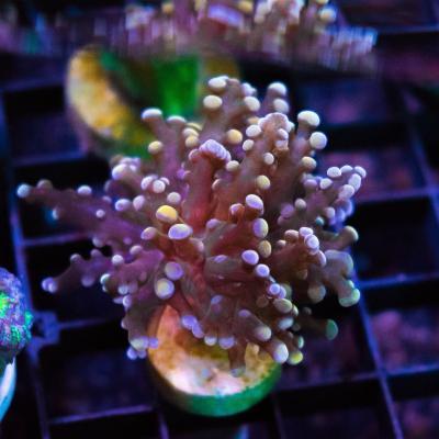 13 Frogspawn Orange 2500 - 2000.jpg
