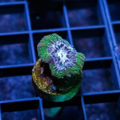 88 Green Acan 1500 - 1000.jpg