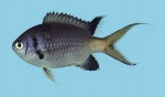 Chromis opercularis