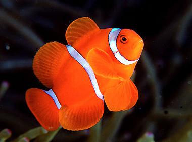 Зачем рыбы-клоуны разговаривают друг с другом