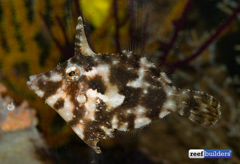 bristletail-filefish.jpg