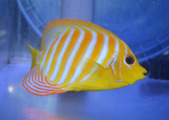 regal-angelfish-xanthic.jpg
