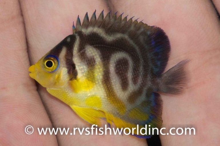 hybrid-multibar-angelfish-770x513.jpg