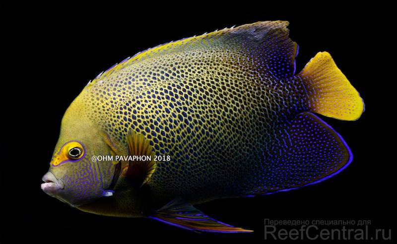 blueface-koran-angelfish-hybrid.jpg