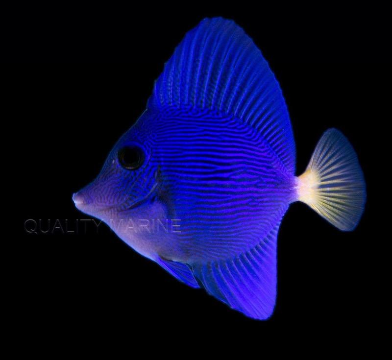 captive-bred-purple-tang.jpg