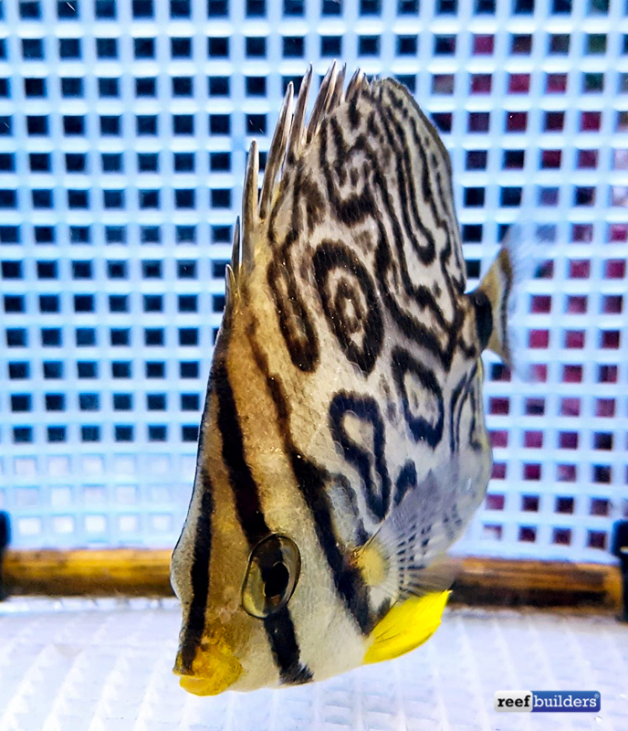 eight-band-butterflyfish-aberrant-1.jpg