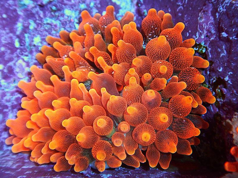 bubble-tip-anemone-philippines.jpg