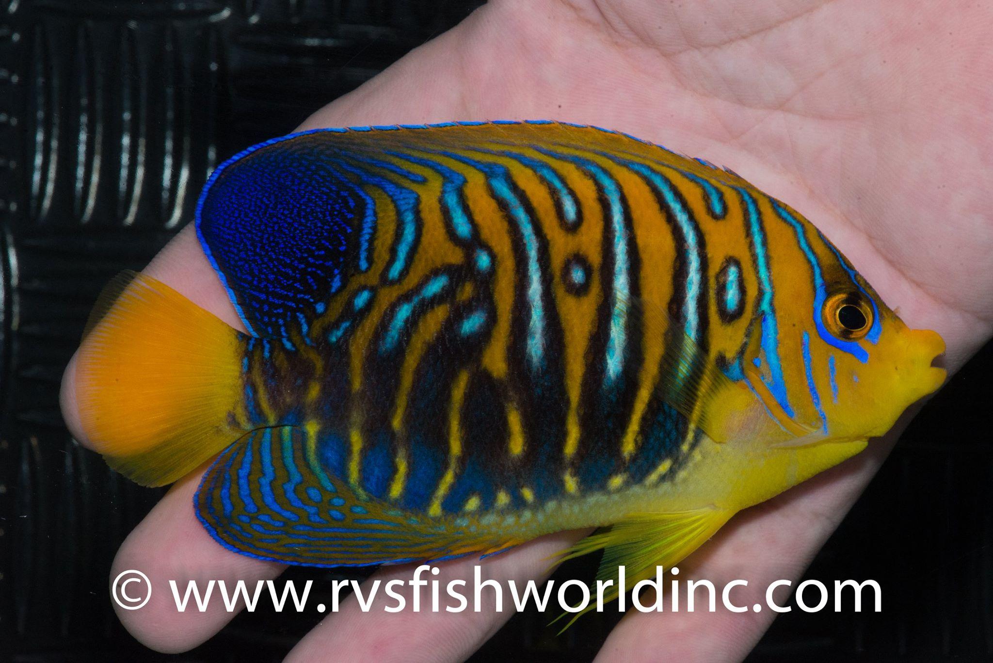regal-angelfish-black-2.jpg
