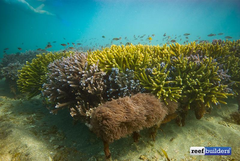 coral-farm-reef-bali-6-1.jpg