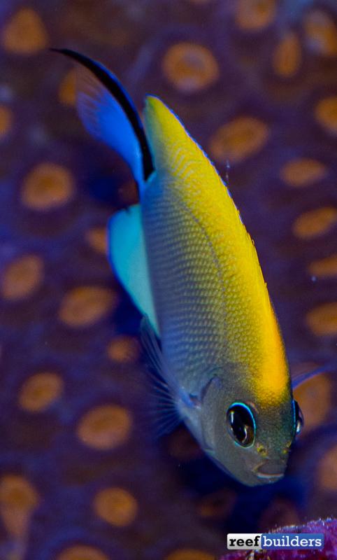 biota-swallowtail-angelfish-3.jpg