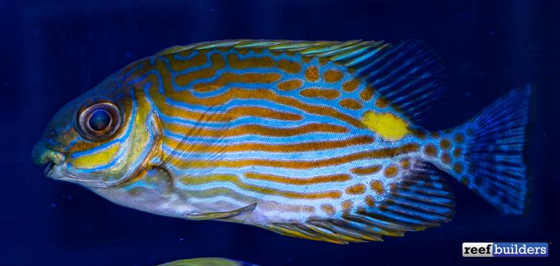 rabbitfish-biota-siganus-lineatus-2.jpg