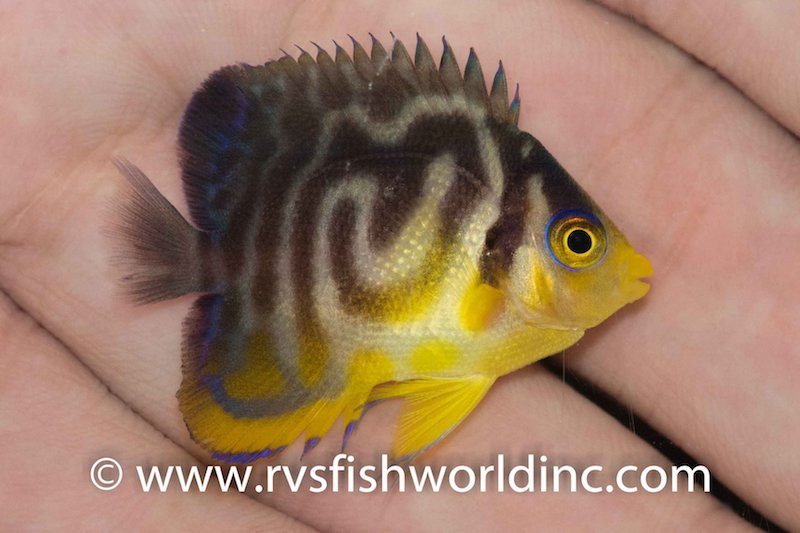 multibar-hybrid-angelfish.jpg