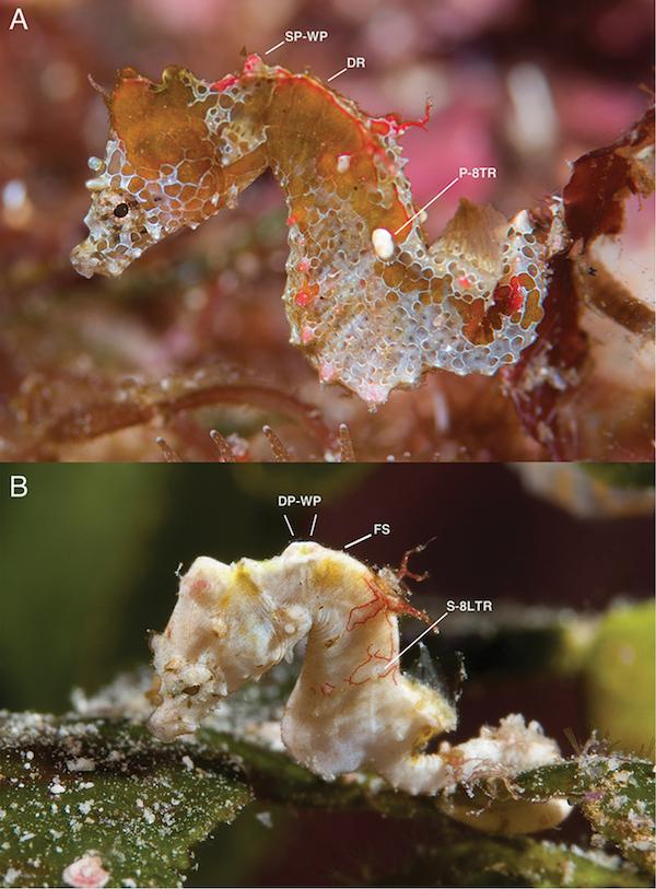 Hippocampus-japapigu-pontohi.jpg
