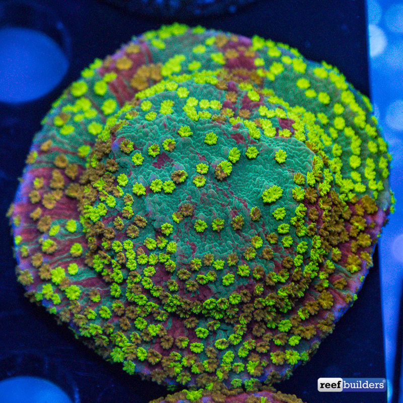 montipora-grafted-sunfire-2-2.jpg