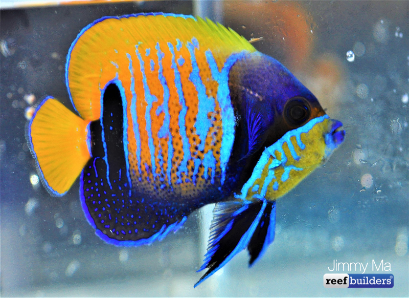 majestic-angelfish-blue-skeleton-7.jpg