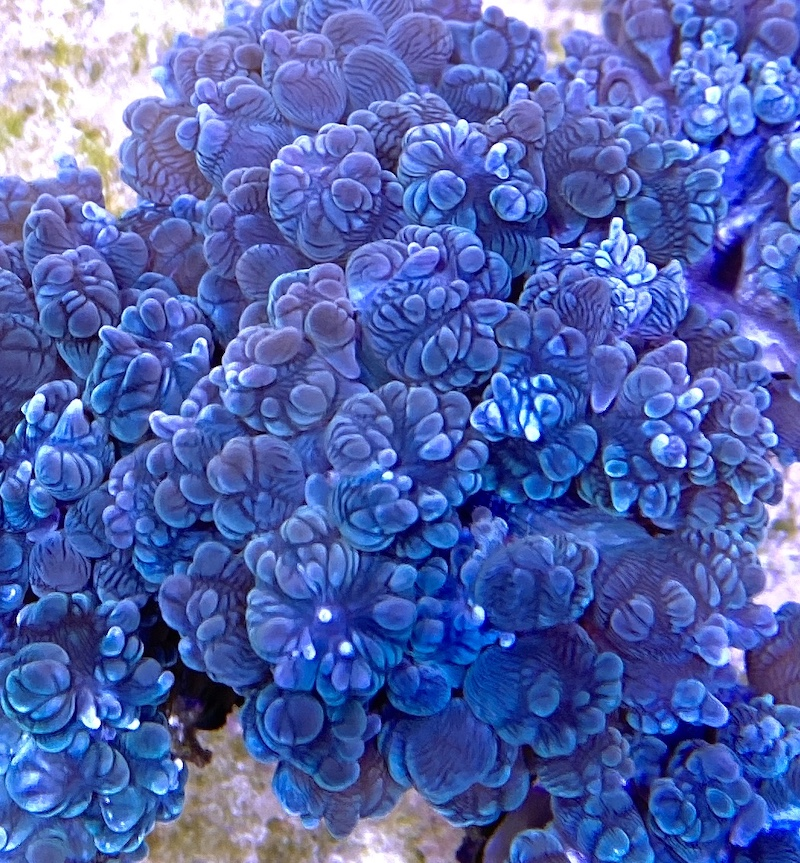 devil-bubble-coral.jpg