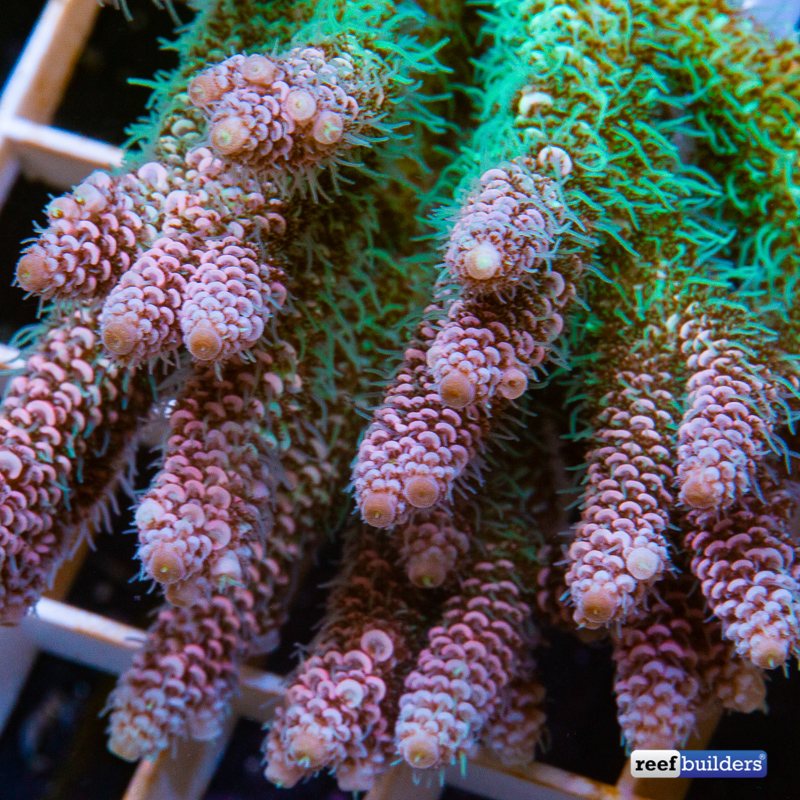 acropora-millepora-solomon-islands-8.jpg