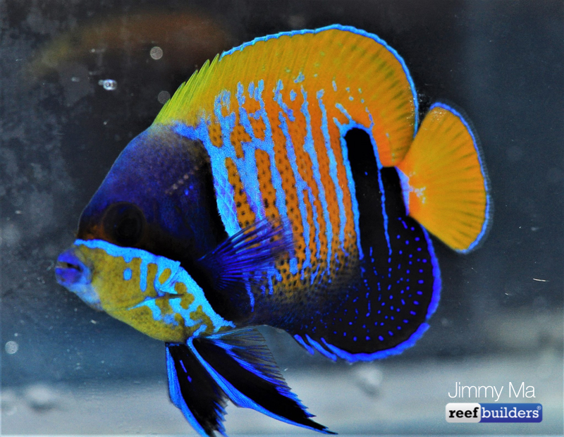 majestic-angelfish-blue-skeleton-6.jpg
