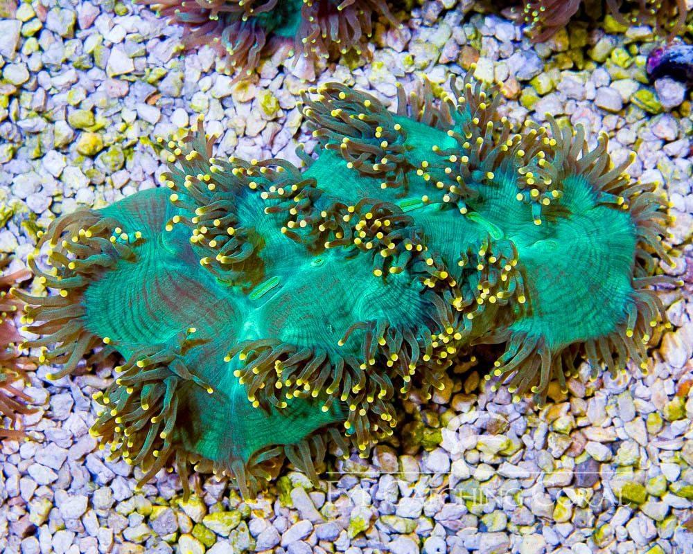 yellow-tip-elegance-coral-2.jpg