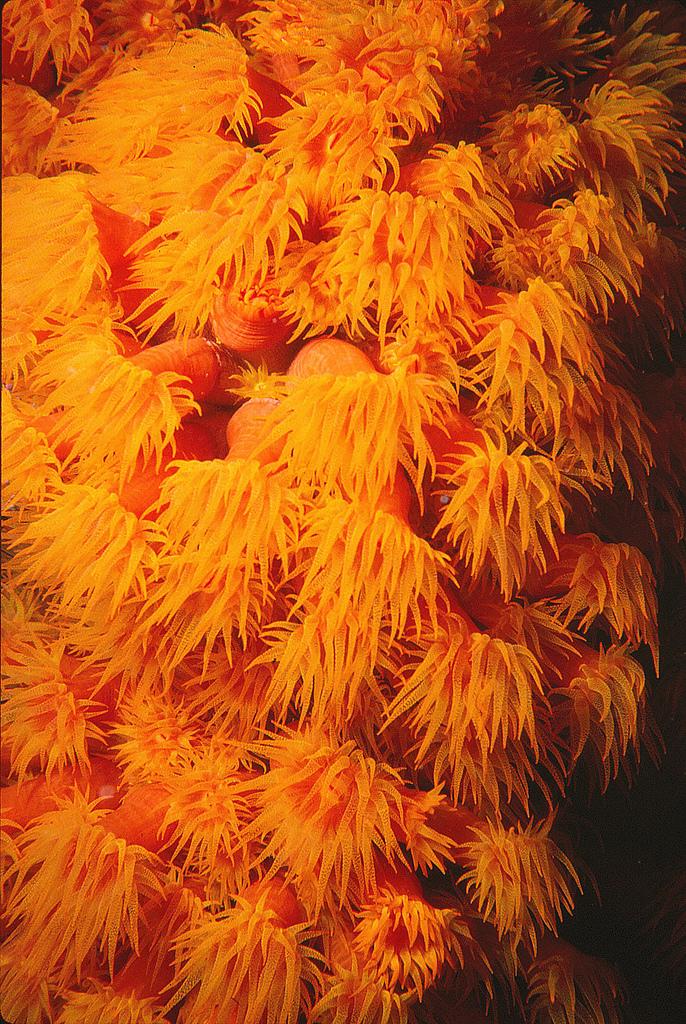Tubastraea-coccinea.jpg
