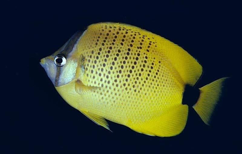milletseed-butterflyfish-2.jpg