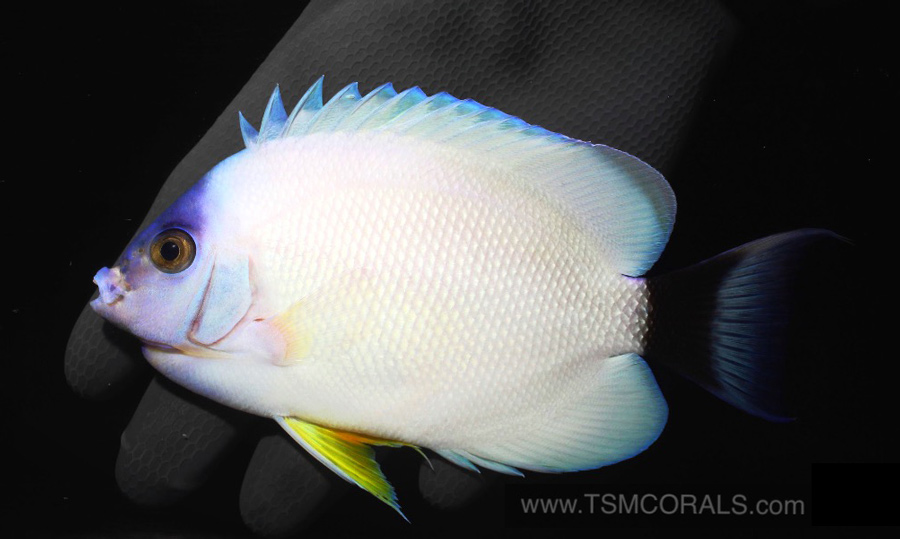 masked-angelfish-black.jpg