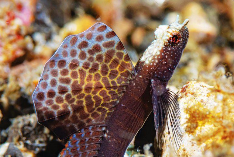 magnificent-fan-shrimp-goby-770x516.jpg
