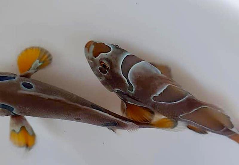 dark-clownfish-1.jpg